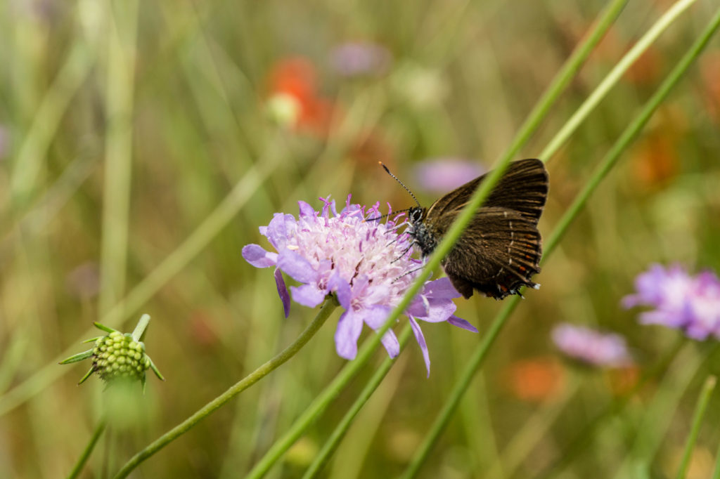 brown_butterfly_03
